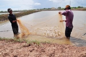 Fisherman harvesting shrimp from their pond lined with geosynthetics